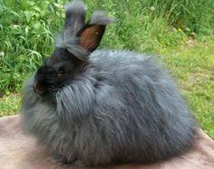 English/French Angora Rabbit