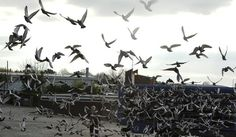 Study Sheds Light on How Birds Navigate by Magnetic Field     Nigel Roddis/Reuters  Two researchers at Baylor College of Medicine have identified cells in pigeons' brains that serve as a kind of biological compass.  By JAMES GORMAN  Published: April 26, 2012  Birds are famously good navigators. Some migrate thousands of miles, flying day and night, even when the stars are obscured. And for decades, scientists have known that one navigational skill t