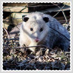 Lil Opossum