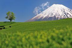 a tea plantation with Mt.Fuji