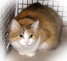 Tinker Bell is a very pretty 2 year old kitty in need of a home.This sweet girl is spayed, up to date with vaccinations, and has tested negative for FIV and FeLV.
