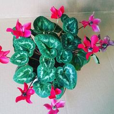 Not succulent related I do have other plants I collect this one is a cyclamen plant I love the leafs and how colorful it is #cyclamen #cyclamens #plants #plantlove #garden #followme #gardening #hobby #chicago #follow4follow #propagation #greenhouse #planthoarder