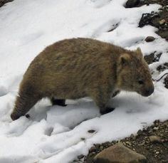 Encounter with a wombat in the snow at Mt Field