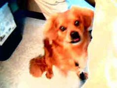 Jojo is an adoptable Pekingese Dog in Plano, TX. Jojo isso cute! He loves to play tug of warand is very smart. He knows how to sit, stay, come and lie down. He alsowalks well on a leash. Jojo is goo...