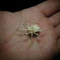Little bone spider I made just for the hell of it. All bones from owl pellets.