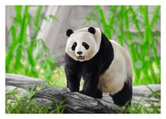 Illustrations of Giant Panda's Growth Stages.