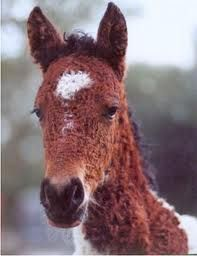 north American curly horse baby
