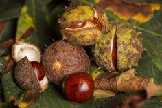 KASZTANOWIEC: właściwości lecznicze i kosmetyczne kasztanowca zwyczajnego Baked Potato, Avocado, Coconut, Herbs, Baking, Fruit, Vegetables, Ethnic Recipes, Nature