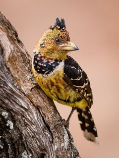 Crested Barbet by Hans Kruse on 500px