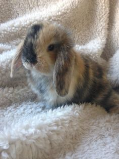 Holland Lop bunny. 3 month old female.