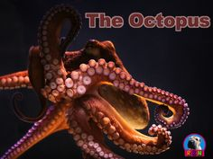 THE OCTOPUS This informative and dynamic PowerPoint presentation illustrates and explains the octopus'... - habitat - diet - appearance and physical characteristics - senses - various means of mobility - intelligence - unique features - classification - family life - life cycle - various species - predators and dangers - many fun facts It also includes a few higher-level thinking writing activities. by Ryan Nygren photo by https://www.flickr.com/photos/parksjd/11847079564/in/photostream/