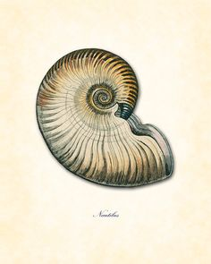 Vintage Nautilus Shell Plate 10 Natural History Wall Decor Art Print 8 x 10 on Etsy, $10.00