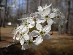 Bradford Pear Blossoms:  Spring, 2013