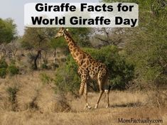 """The word """"giraffe"""" is believed to originate from the Arabic word """"zarafa,"""" meaning """"fast walker."""" More fun facts about giraffes in this post Fun Facts About Giraffes, Group Of Giraffes, Giraffe Facts, Facts For Kids, Animal Facts, Zoo Animals, Trivia, More Fun"""
