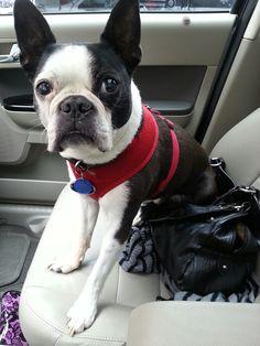 "running some errands. ::: ""I guard the purse. I'm called a guard dog. I do a good job."" Lorr"