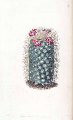 Rainbow Pincushion - Mammillaria rhodantha - Small cactus under 12 inches high - Blooms over a very long spring to fall season - circa 1830