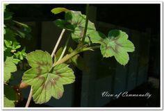Multibracteata geranium (Pelargonium <WBR> multibracteum)