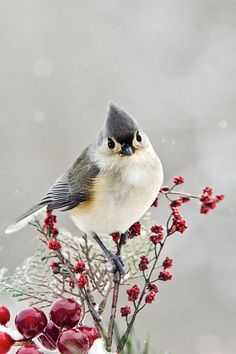 Cute Winter Bird Tufted Titmouse by Christina Rollo © www.rollosphotos.com.