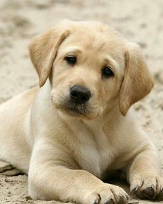 If you look at this Labrador pupper long enough you'll fall in love.
