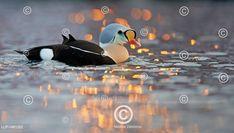 Kajka královská v západu slunce Male King eider duck (Somateria spectabilis) on water Celebrity, King, Water, Animals, Outdoor, Water Water, Animales, Outdoors, Animaux