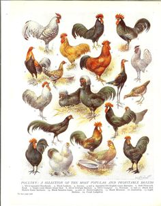 1930s Breeds Of Hens Vintage Print. Poultry Chickens. Ideal For Framing. via Etsy