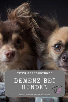 Akupunktur zum Abnehmen in den Ohren von Chihuahua