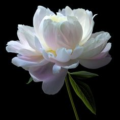 46 Ideas Flowers Black And White Photography Nature Plants Peony Flower, My Flower, Flower Art, Flower Power, Amazing Flowers, White Flowers, Beautiful Flowers, White Peonies, Art Floral