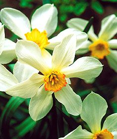 Division 3: Short Cup Daffodils