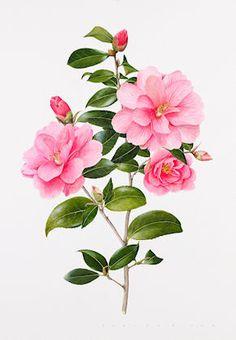 http://www.evelynbinns.com/gallery/camellia donation 141008.html