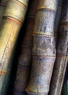 'Old Bamboo ... from the garden' | ©Zsaj, via flickr