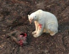 polar bear eats caribou-Polar Bears Hunt on Land as Ice Shrinks- Still, it's not clear that this foraging strategy can offset the negative impacts of climate change, with one scientist saying it is unlikely to make a difference for polar bear numbers. Polar Bear Diet, Polar Bear Hunting, Polar Bears, Polar Bear Adaptations, Polar Bear Climate Change, Arctic Ice, Snow Goose, Sea Ice, New York Museums