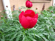My blooming Peony