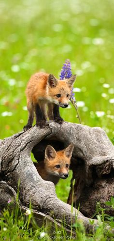 Nature Animals, Zoo Animals, Cute Baby Animals, Animals And Pets, Beautiful Creatures, Animals Beautiful, Fennec, Animal Action, The Fox And The Hound