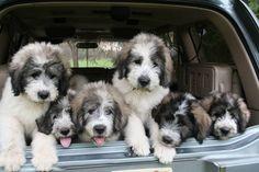 Romanian Mioritic Puppies