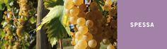 Spessa: terra dalla straordinaria tradizione vitivinicola.