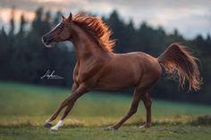 Arber Fuchs Wallch galoppiert über die Wiese | Pferd | Bilder | Foto | Fotografie | Fotoshooting | Pferdefotografie | Pferdefotograf | Ideen | Inspiration | Pferdefotos | Horse | Photography | Photo | Pictures