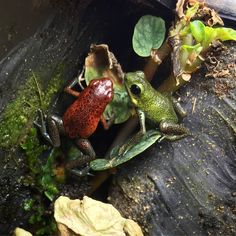 Almirante and Popa Oophaga Pumilio Frog Tank, Dart Frogs, Frog And Toad, Geckos, Amphibians, Tanks, Insects, Creatures, Rainbow