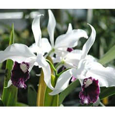 """Laelia Orchid purpurata var schusteriana  Laelia Orchid purpurata var schusteriana (Laelia hybrid)  Highly fragrant, Laelia purpurata var schusteriana has big, white, 5-6"""" flowers with deep purple and white lips. It tends to bloom in late spring or summer and often has 5-6 flowers per spike. -\ zone 10 and higher"""