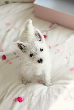 Westie... I think I love her!