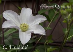 Clematis 'Huldine'