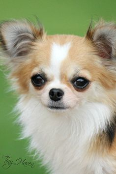 Effective Potty Training Chihuahua Consistency Is Key Ideas. Brilliant Potty Training Chihuahua Consistency Is Key Ideas. Teacup Chihuahua, Chihuahua Love, Chihuahua Puppies, Cute Puppies, Cute Dogs, Dogs And Puppies, Doggies, Pomeranian, Funny Animals