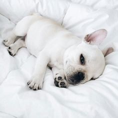 Lil baby | #frenchie #dog