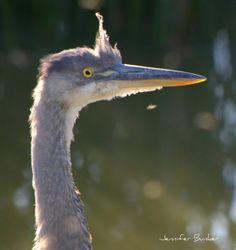 Great Blue Heron. USFWS Bear River Migratory Bird Refuge, Utah. Photo: Jennifer Bunker