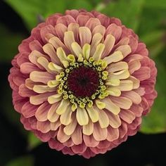 i think i just died. queen red lime zinnias.