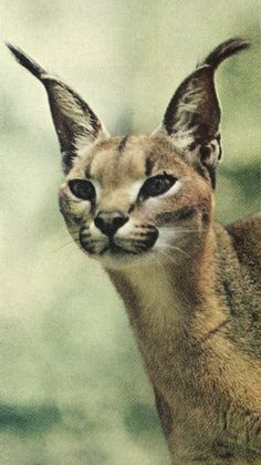 LYNX - National Geographic, June 1968