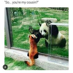 Greater Panda and Lesser Panda.sre only distant cousins. The giant panda is closely related to bears. The red panda is more closely related to ferrets. Cute Funny Animals, Funny Animal Pictures, Cute Baby Animals, Animals And Pets, Random Pictures, Animal Pics, Zoo Pictures, Smile Pictures, Fluffy Animals