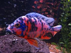 This Peacock cichlid is semi-aggressive, can grow up to six inches, and has a life expectancy of a minimum of five years. Make your aquarium colorful with this freshwater cichlid. Cichlid Aquarium, Aquarium Sharks, Aquarium Fish For Sale, Cichlid Fish, Tropical Aquarium, Aquarium Fish Tank, Tropical Fish, Aquarium Ideas, Fish Tanks