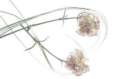 carnation flower tattoos - Google Search
