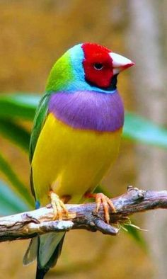 Gouldian Finch -The Gouldian Finch, also known as the Lady Gouldian Finch, Gould's Finch or the Rainbow Finch, is a colourful passerine bird endemic to Australia. Wikipedia Scientific name: Erythrura gouldiae Higher classification: Parrotfinch Rank: Species
