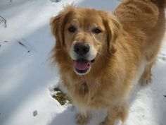 Dylan-my sweet, perfect Golden-I miss you. Forever in my heart.